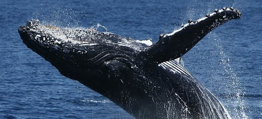 Spirit Of Gold Coast Whale Watching - QLD Tourism