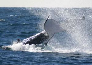 Whale Watching Sydney - QLD Tourism