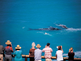 Whale Watching At Head Of Bight - QLD Tourism